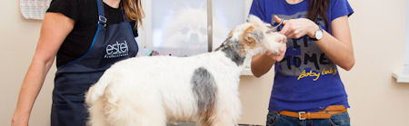 Fox terrier getting his hair cut